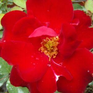 Rosa 'Lilli Marleen®' - sötétpiros virágágyi floribunda rózsa