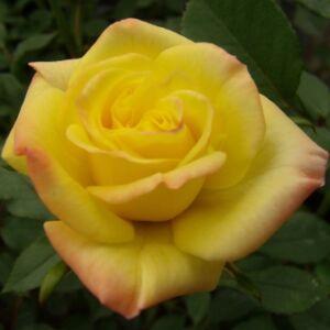 Rosa 'Mandarin®' - rézsárga törpe - mini rózsa