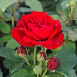 Rosa 'Dalli Dalli®' - bordó virágágyi floribunda rózsa