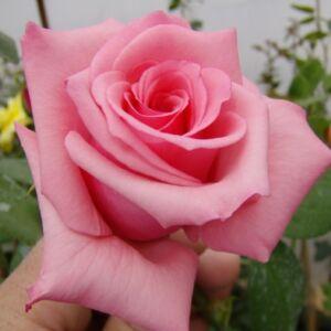 Rosa 'Meichim' - Élénk rózsaszínű teahibrid rózsa