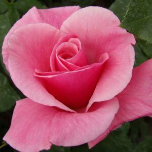 Rosa 'Milrose' - rózsaszín virágágyi floribunda rózsa