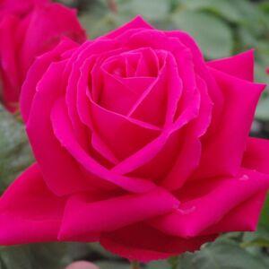 Rosa 'Miss All-American Beauty' - erős rózsaszín teahibrid rózsa
