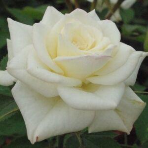 Rosa 'Moonlight Lady' - krémfehér, krémrózsaszín középpel törpe - mini rózsa