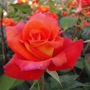 Rosa 'Monica®' - narancssárga, belső szirom világossárga teahibrid rózsa