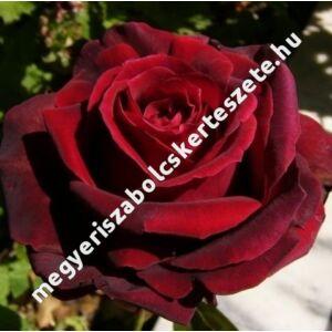 Rosa 'Magia Nera' - Bordó teahibrid rózsa bimbósan fekete szirmokkal