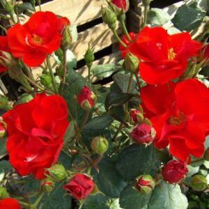 Rosa 'Paprika®' - téglavörös virágágyi floribunda rózsa