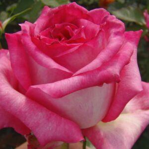 Rosa 'Kordes' Perfecta®' - krémszín, karmazsin csúccsal és futtatással, sárga árnyalattal teahibrid rózsa