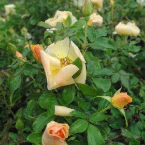 Rosa 'Pimprenelle' - sárga talajtakaró rózsa