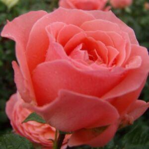 Rosa 'First Edition' - lazacrózsaszín virágágyi floribunda rózsa