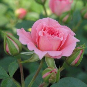 Rosa 'Moana' - rózsaszín törpe - mini rózsa