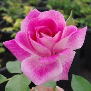 Rosa 'Regensberg' - rózsaszín, fehér szegéllyel virágágyi floribunda rózsa