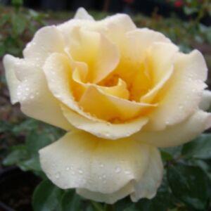 Rosa 'Elegant Beauty®' - vajszínű, a sziromszél kissé rózsaszín teahibrid rózsa