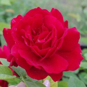 Rosa 'Diablotin' - piros virágágyi floribunda rózsa