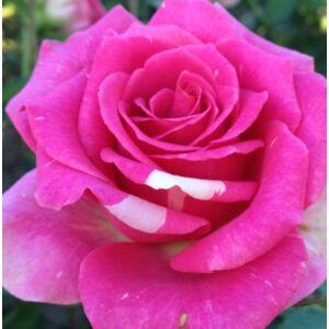 Rosa 'Reka S.' - rózsaszín, helyenként fehéres szirommal teahibrid rózsa