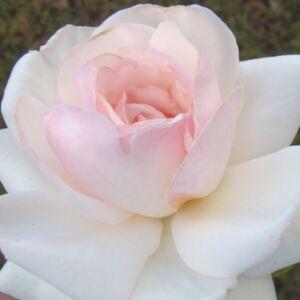 Rosa 'Schwanensee®' - fehér, közepe rózsaszínnel futtatott climber, futó rózsa
