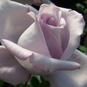 Rosa 'Mainzer Fastnacht®' - orgonalila teahibrid rózsa