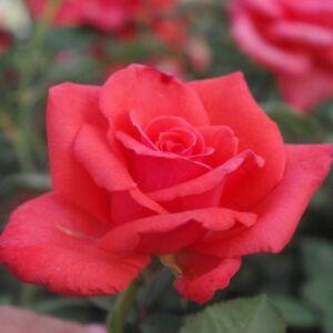 Rosa 'Resolut®' - élénk narancspiros virágágyi floribunda rózsa