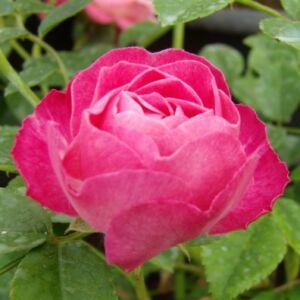 Rosa 'Sorbet Pink' - rózsaszín virágágyi polianta rózsa