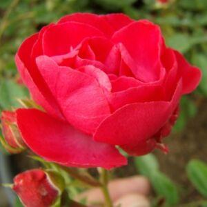 Rosa 'Dick Koster' - kárminpiros virágágyi polianta rózsa