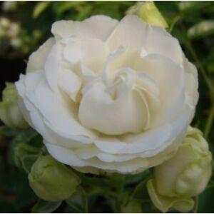 Rosa 'Snövit' - fehér virágágyi polianta rózsa