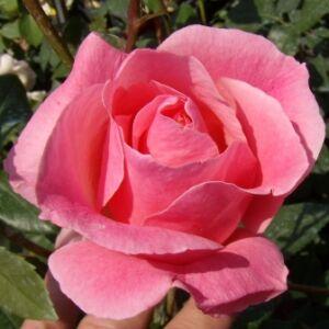 Rosa 'Queen Elizabeth' - közép rózsaszín virágágyi grandiflora - floribunda rózsa