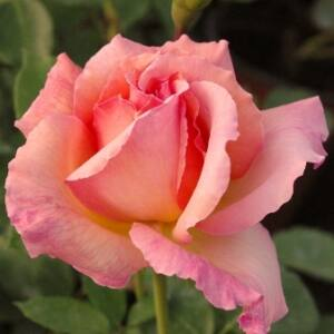Rosa 'Tiffany' - sárga-rózsaszín tarka teahibrid rózsa