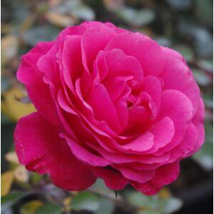 Rosa 'Tom Tom' - erős rózsaszín virágágyi floribunda rózsa