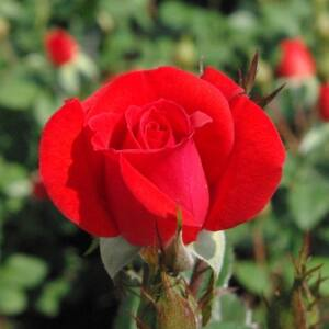 Rosa 'Top Hit' - tartós izzó narancsszín törpe - mini rózsa