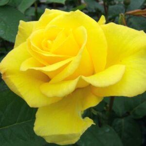 Rosa 'Goldbeet' - sötétsárga virágágyi floribunda rózsa