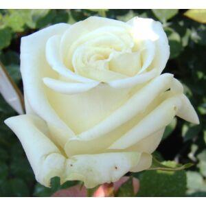 Rosa 'Varo Iglo' - Fehér teahibrid rózsa