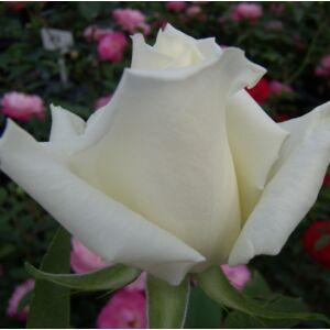Rosa 'Virgo' - fehér, néha halvány rózsaszín teahibrid rózsa