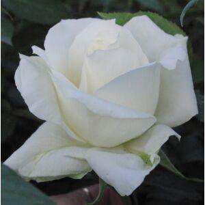 Rosa 'White Swan' - fehér teahibrid rózsa