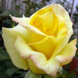 Rosa 'Frau E. Weigand' - kanári sárga teahibrid rózsa