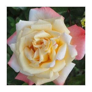 Rosa 'Rose Aimée' - aranysárga rózsaszín sziromszéllel teahibrid rózsa