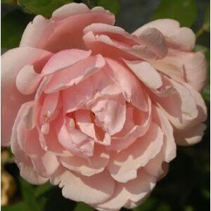 Rosa 'Albertine' - lazacrózsaszín történelmi - rambler, futó - kúszó rózsa