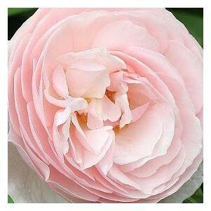Rosa 'Ausblush' - világos rózsaszín angol rózsa