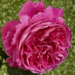 Rosa 'Ausmary' - rózsaszín angol rózsa