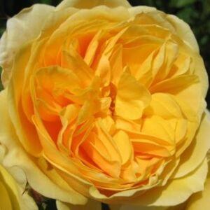 Rosa 'Ausmas' - aranysárga angol rózsa