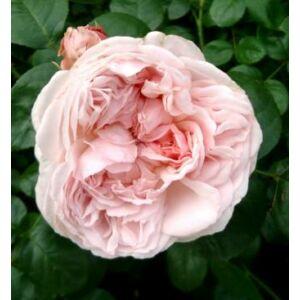 Rosa 'Auswith' - világos rózsaszín angol rózsa