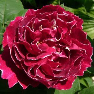 Rosa 'Baron Girod de l'Ain' - Piros, fehér éllel perpetual hibrid