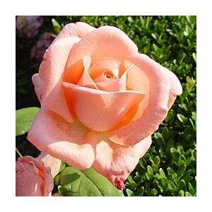 Rosa 'Schöne Berlinerin®' - rózsaszín teahibrid rózsa