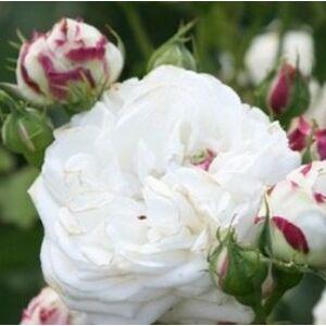 Rosa 'Boule de Neige' - Fehér történelmi rózsa
