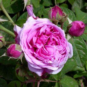 Rosa 'Comte de Chambord' - Rózsaszín kúszó, történelmi rózsa