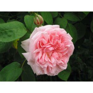 Rosa 'Eglantyne' - világos rózsaszín angol rózsa