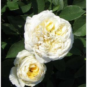 Rosa 'Erény' - fehér, halvány citromsárga teahibrid rózsa
