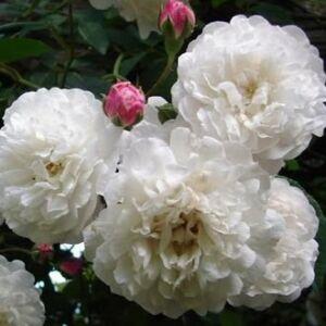 Rosa 'Félicité et Perpétue' - Világos rózsaszín, fehér rózsa