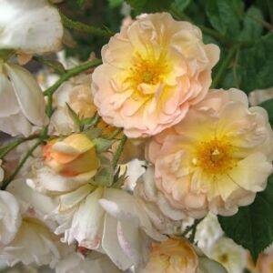 Rosa 'Ghislaine de Féligonde' - barackszínű változatosan fehér színnel történelmi - rambler, futó - kúszó rózsa