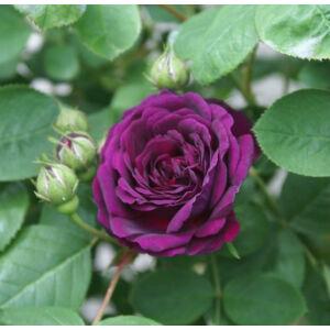Rosa 'Gipsy Boy' - liláspiros történelmi - bourbon rózsa