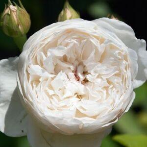 Rosa 'Auslevel' - Fehér, krém árnyékolású romantikus rózsa