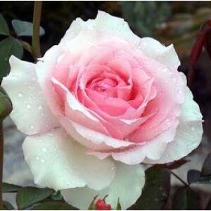 Rosa 'Grand Siécle' - Világos rózsaszín teahibrid rózsa